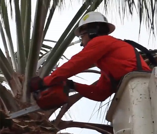 Worker in a white hat and orange shirt trimming a palm tree following safety protocol