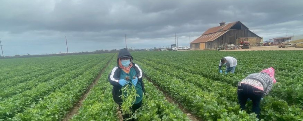 Farmworkers in a field on a hazy, cloudy day, one facing the camera in a mask